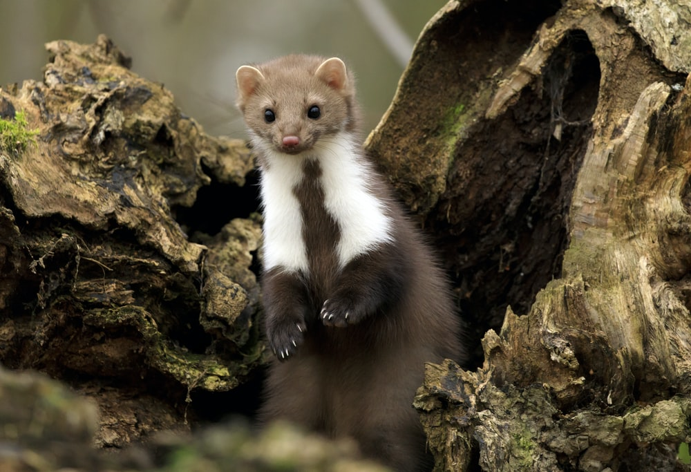 white and brown ferret on brown tree bark