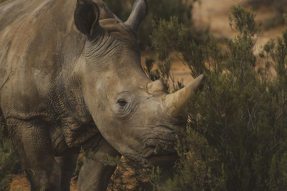 brown rhino standing near grass