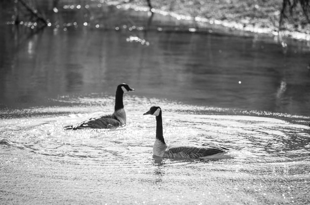 grayscale photo of ducks
