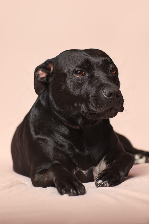 black smooth-coated dog