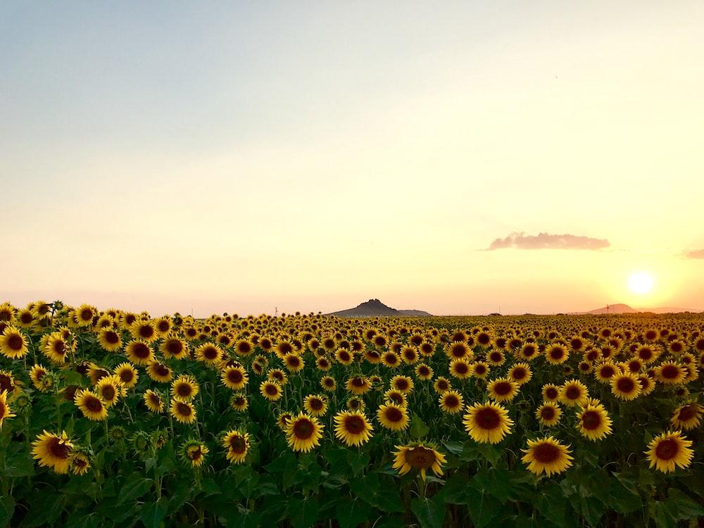 meadow of Sunflower