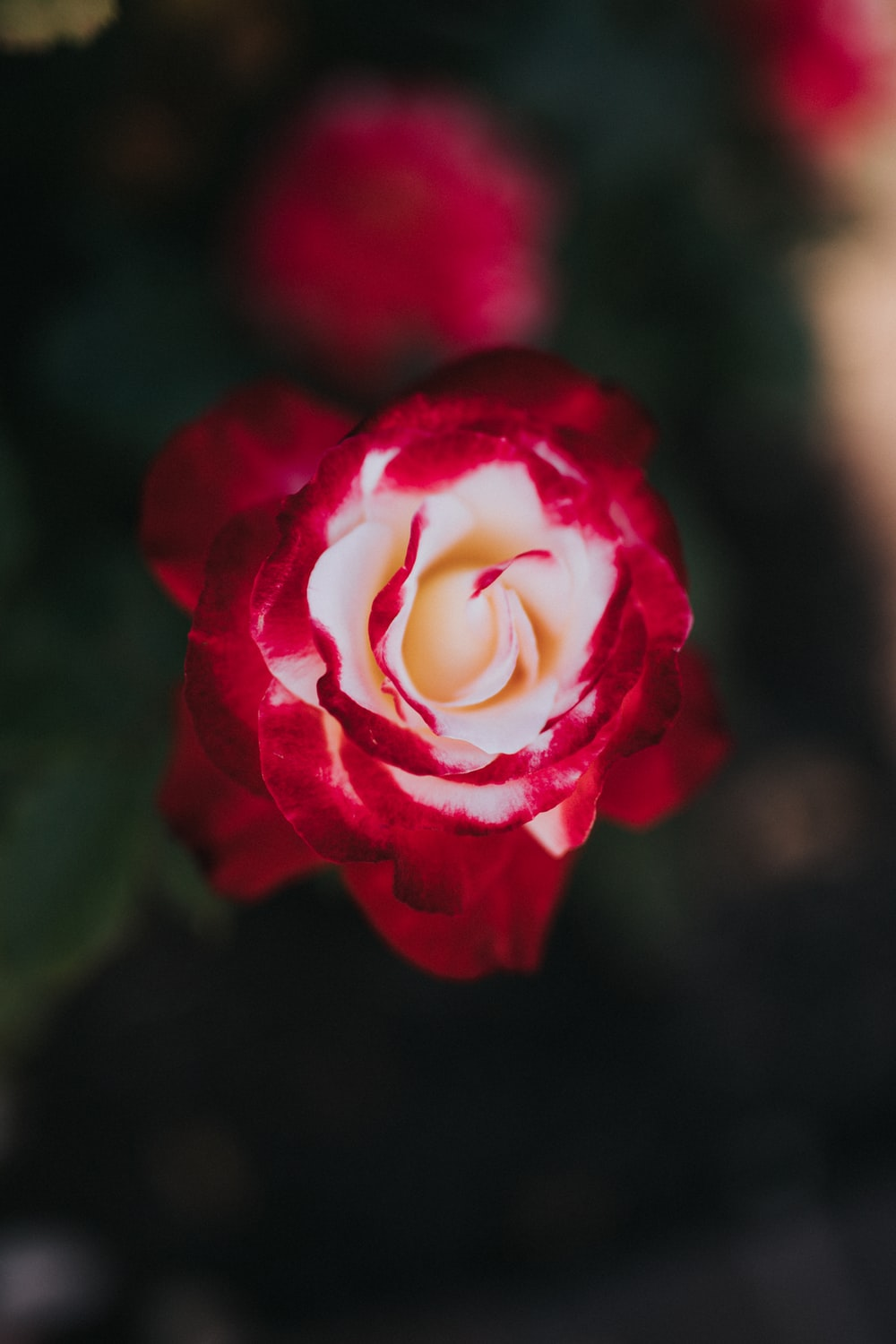 white and red rose