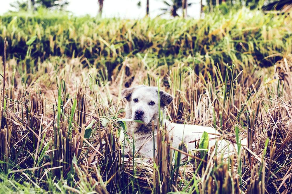 dog lying on brown grass