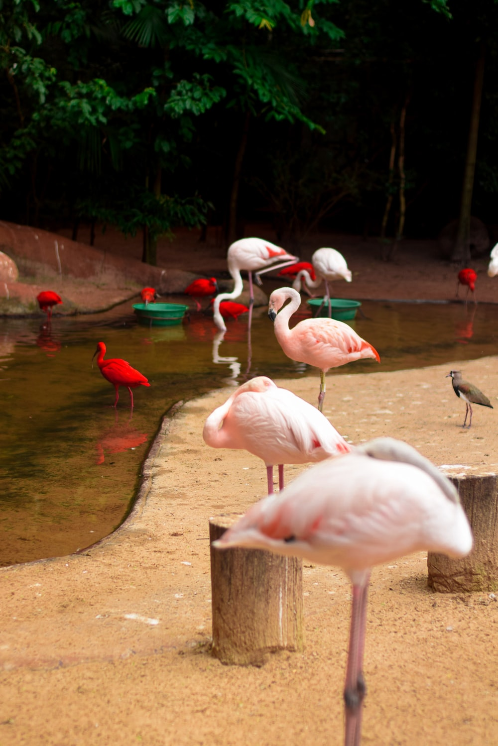 flamingos near body of water