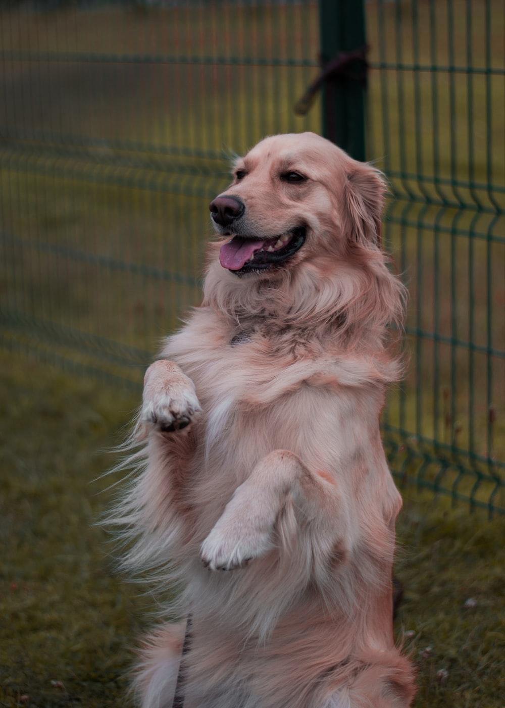 fawn dog near fence