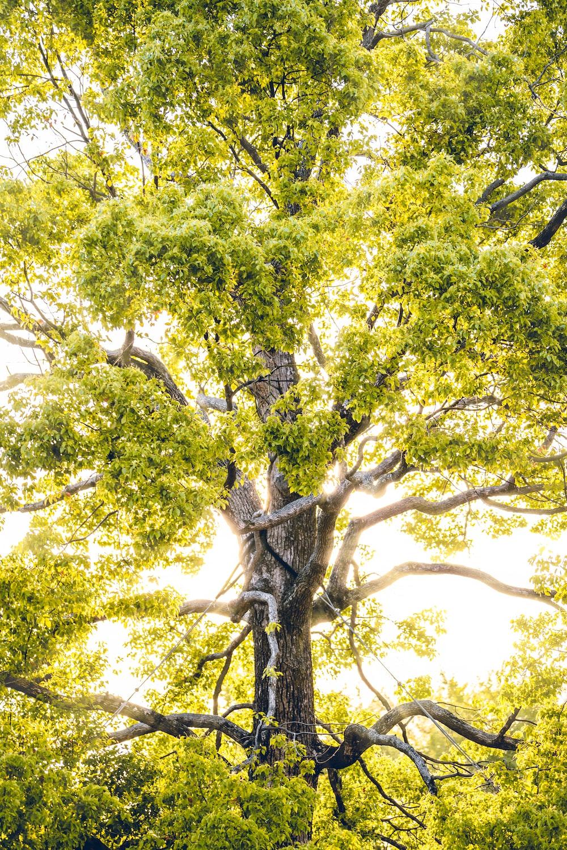 sun rays through green-leafed tree
