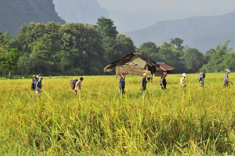 people standing in the middle of rice field