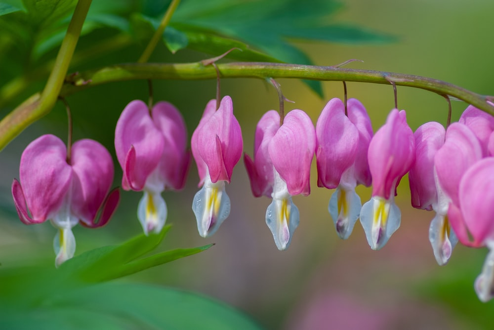 lined bleeding heart flowers