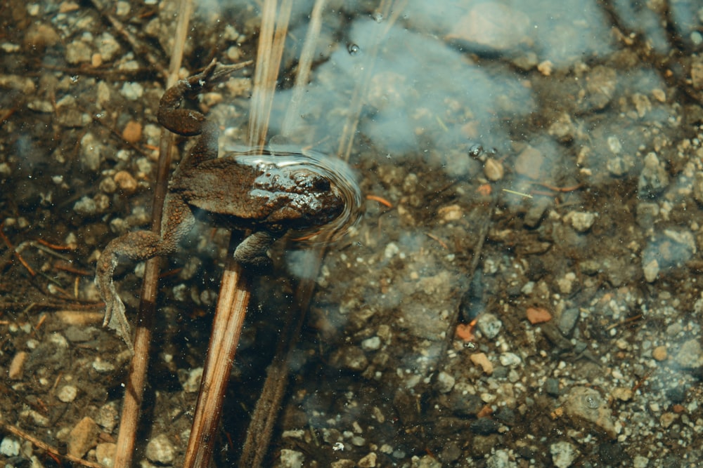 brown frog swimming in clear water pond