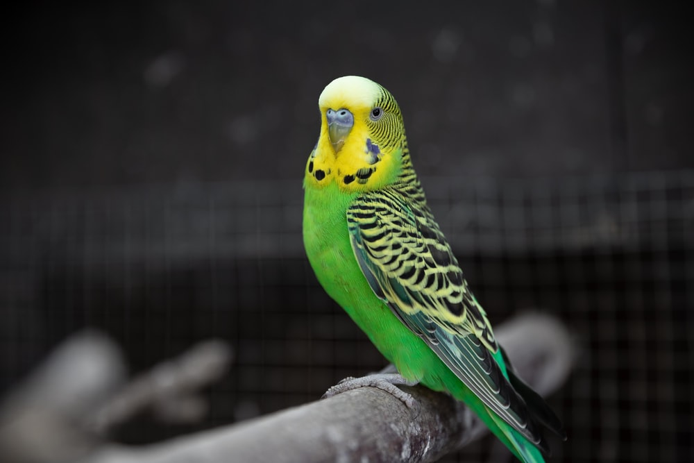 yellow and green budgerigar