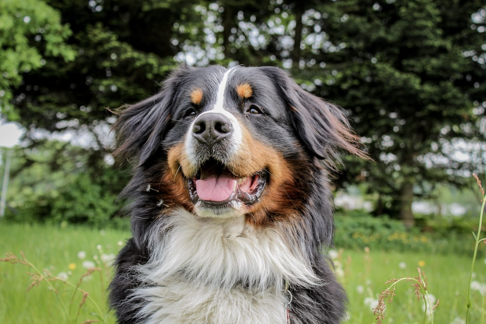black, brown and white long coated dog