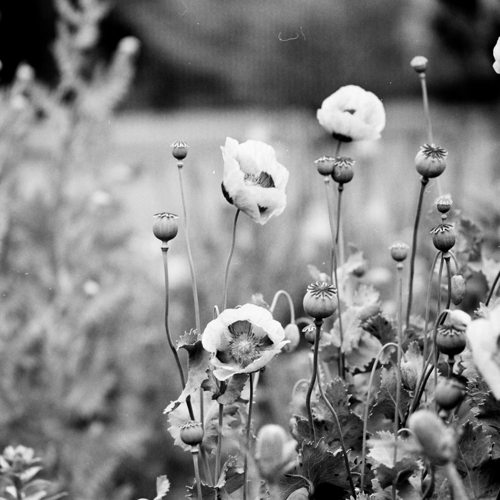 grayscale photo of poppy flower