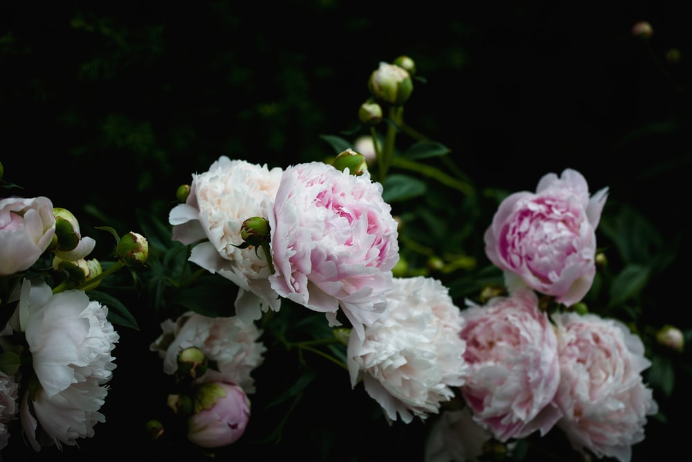 shallow focus photography of white and pink flowers