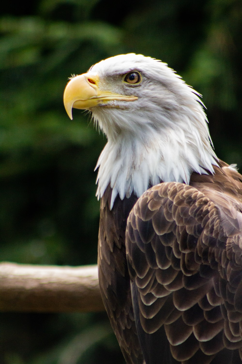 white and brown bald eagle selective focus photography