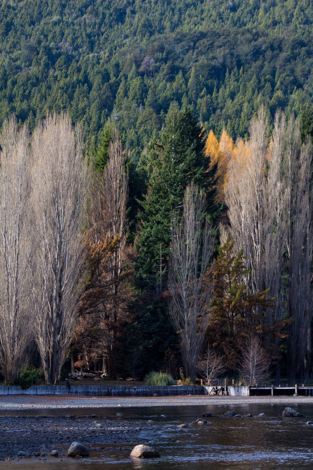 lined pine trees near body of water during daytime