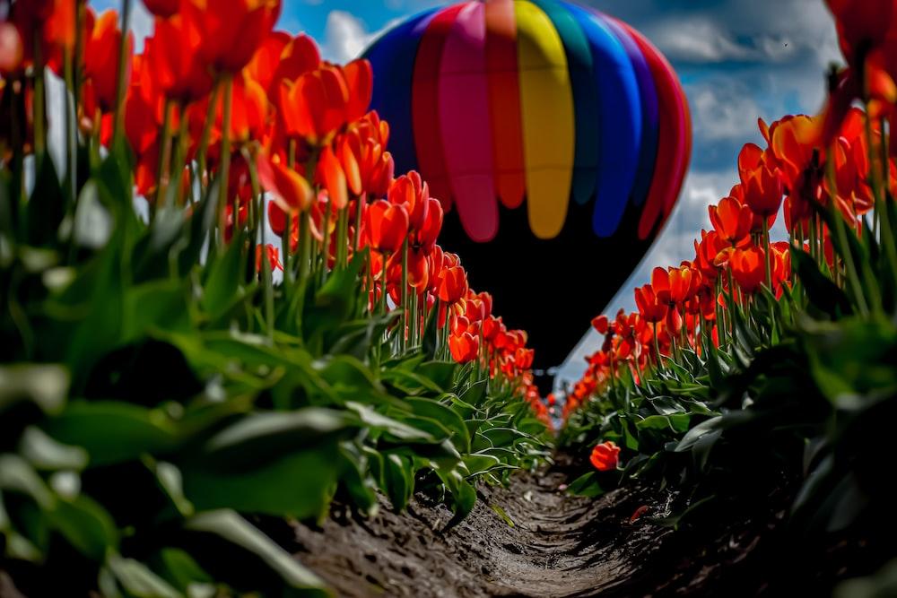 multicolored hot air balloon through red tulip fields
