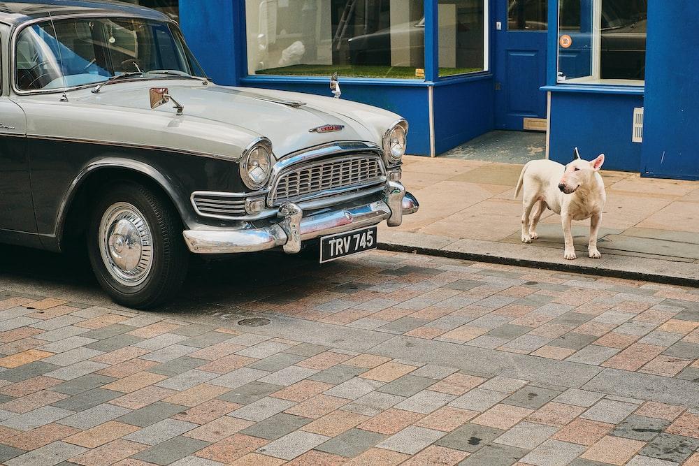 dog standing near car