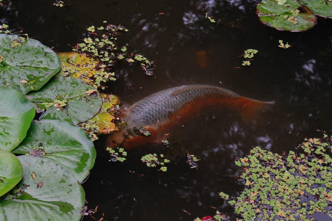 Penyakit dan Infeksi Yang Sering Terjadi Pada Ikan Koi  Bagian I