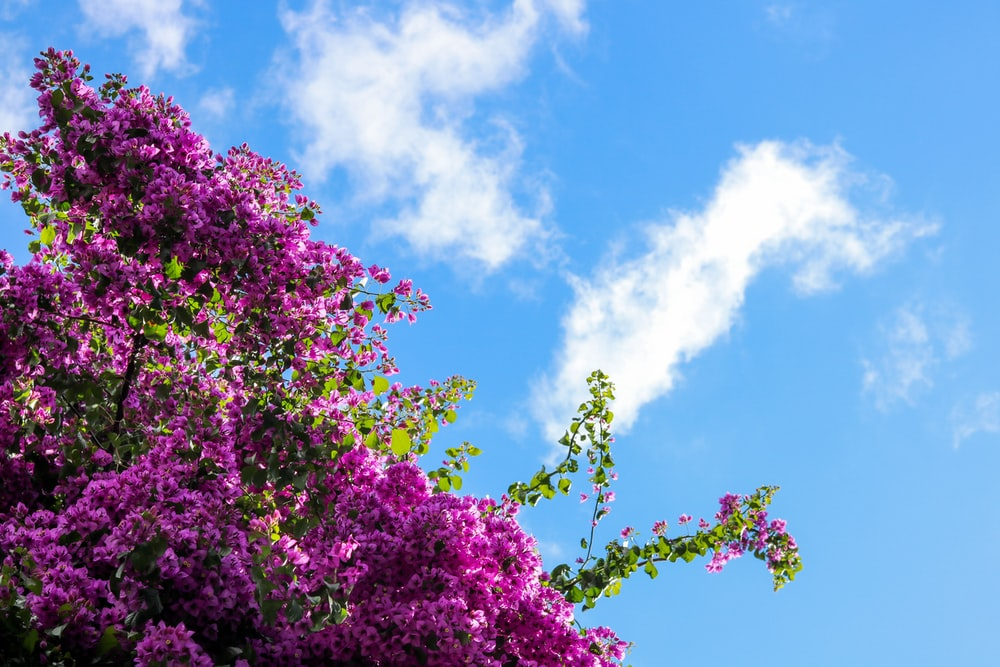pink-petaled flower tree during day
