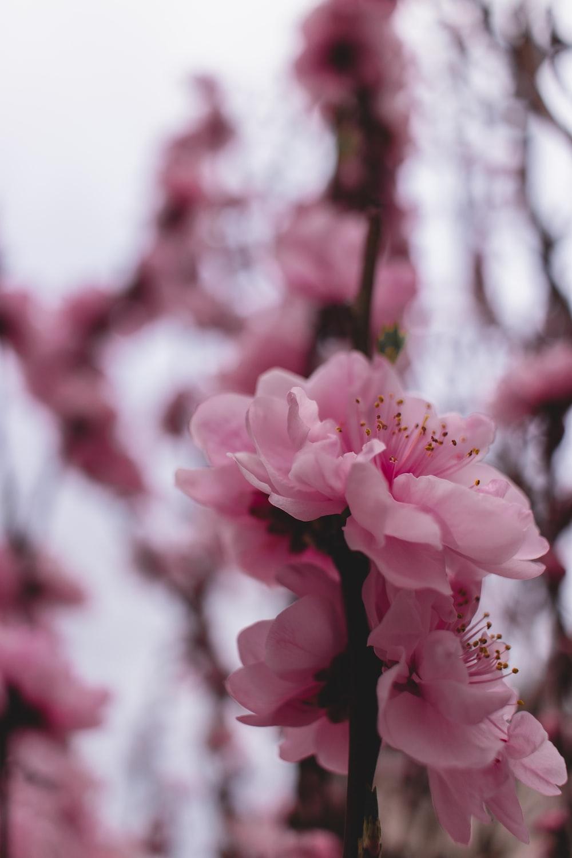 closeup photography pf pink-petaled flower