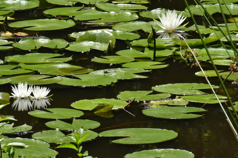 lotus flowers near lily pods on water during daytime