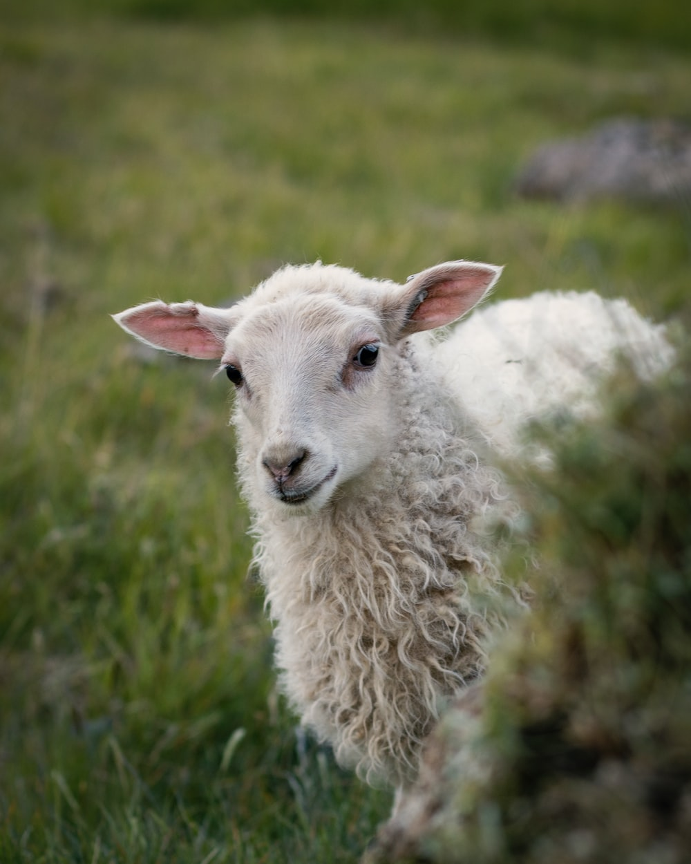 white sheep standing on green grass