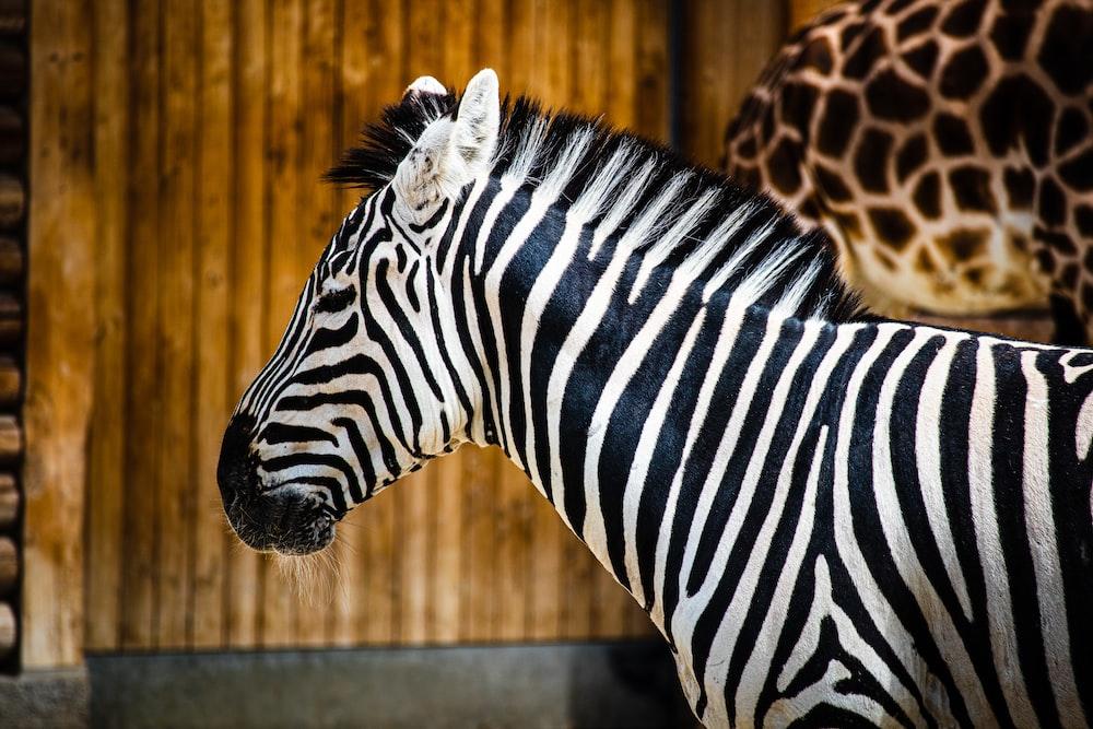zebra in a barn