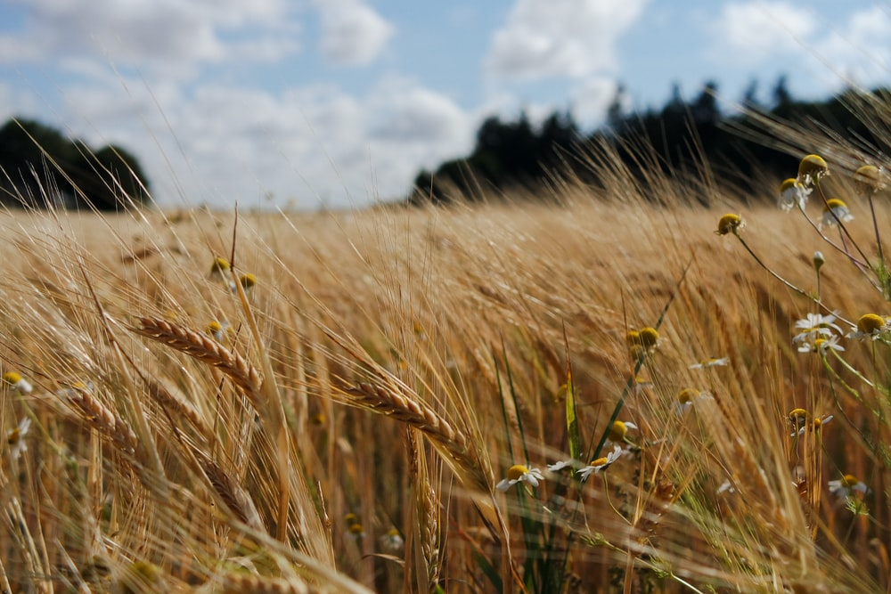 photography of wheat field during daytime