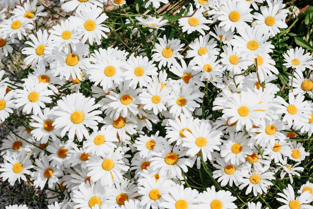 white daisy flowers during daytime