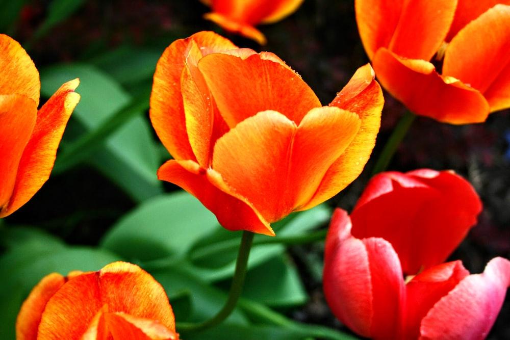 orange and red petaled flowr