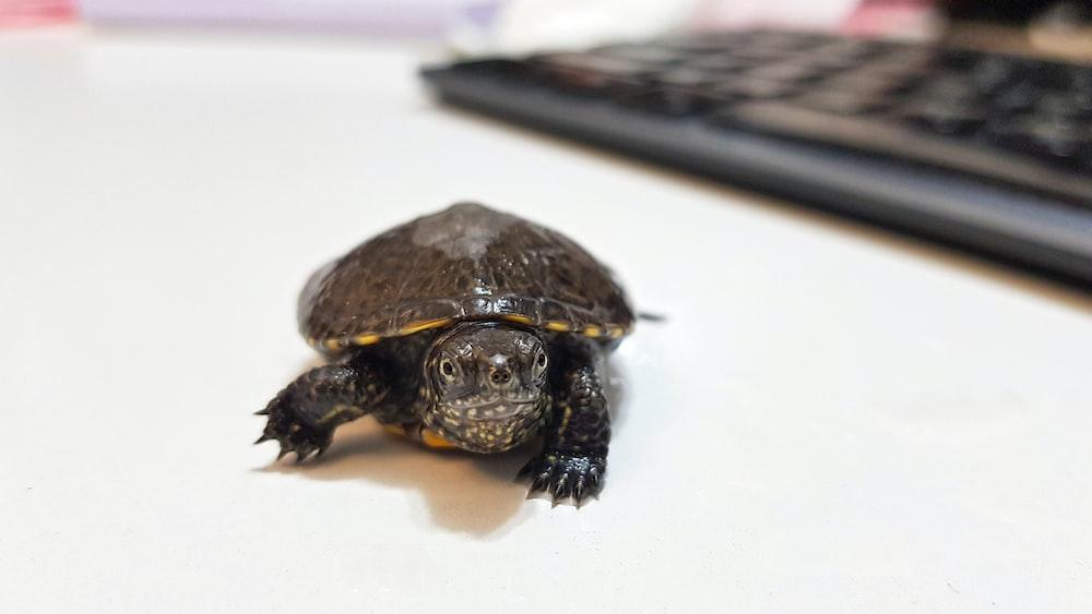 black turtle on white surface