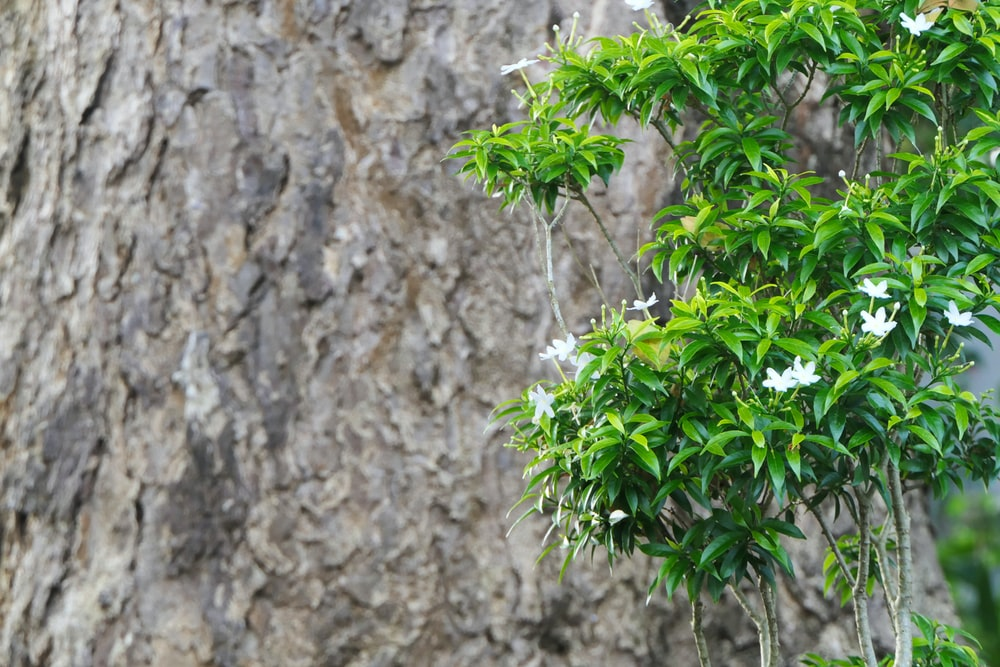 white flowers with green leaves besides brown wood bark