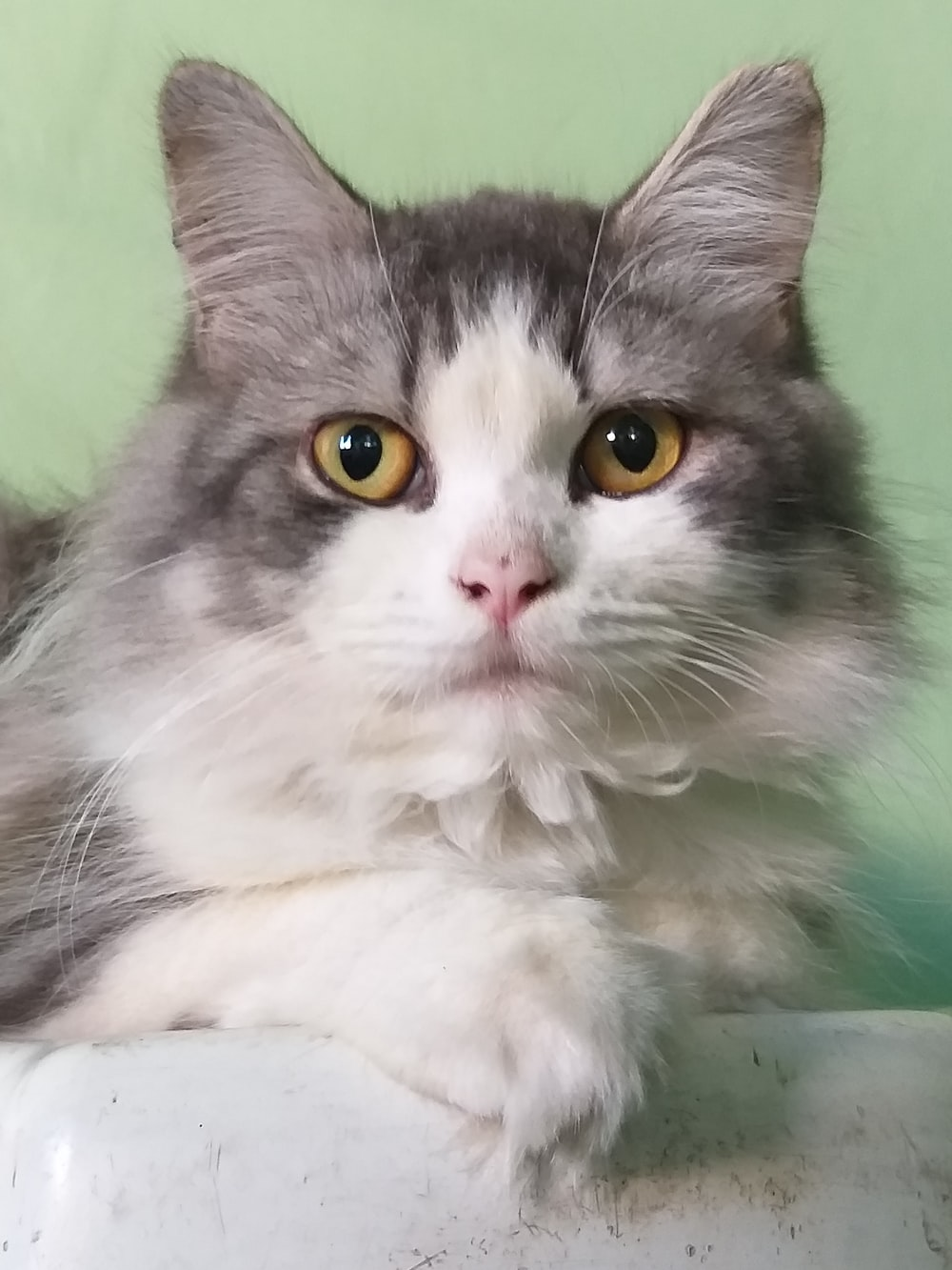 short-fur gray and white cat