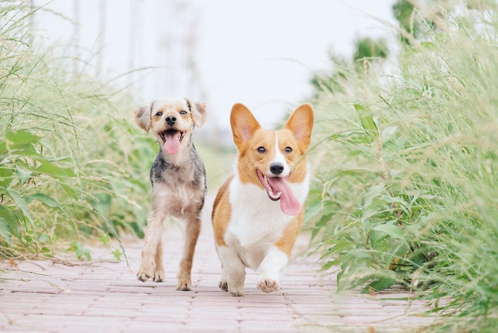 pembroke welsh corgi and brown dog running between grasses
