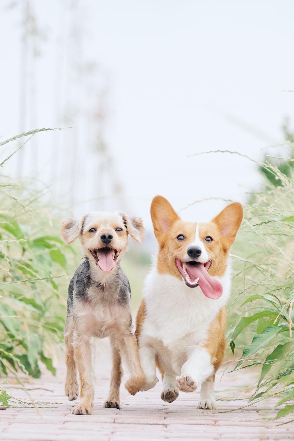 white and brown corgi besides brown dog