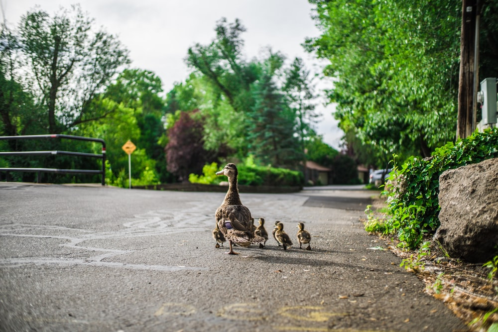 brown ducks and chicks walking on road during daytime
