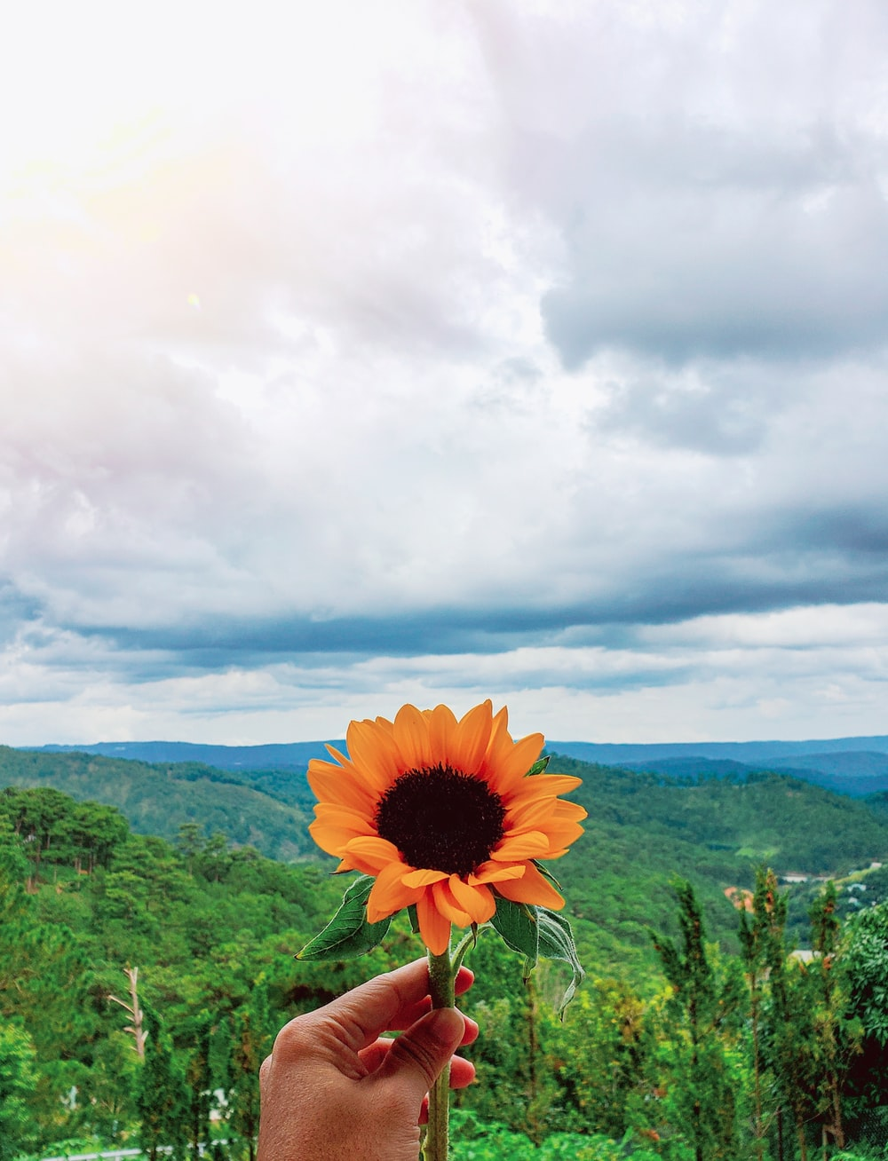 blooming orange sunflower