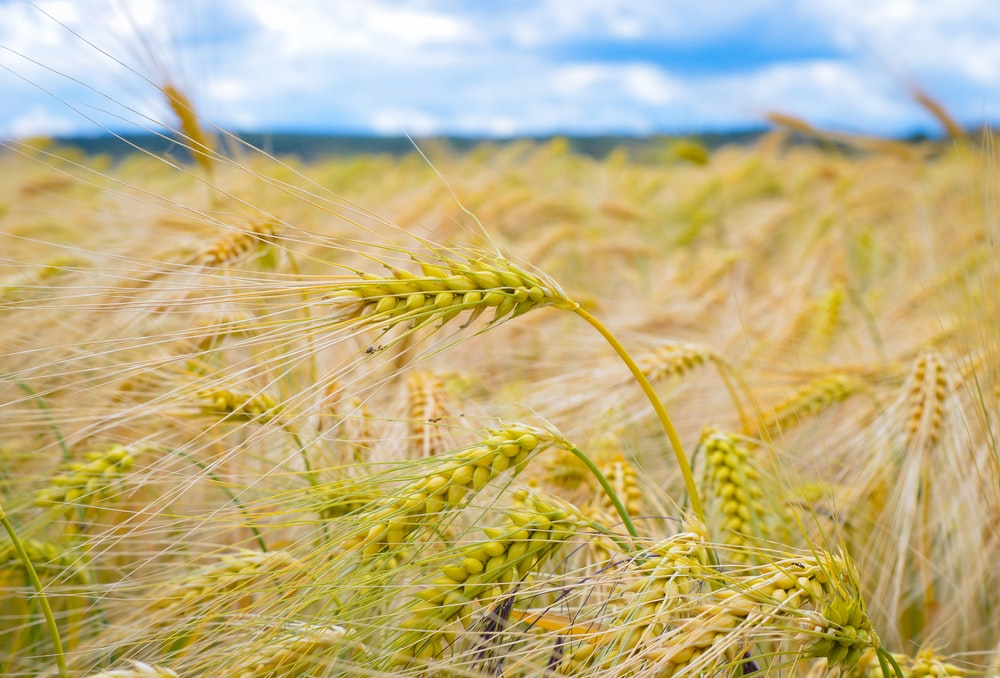 brown wheat field under blue and white skies