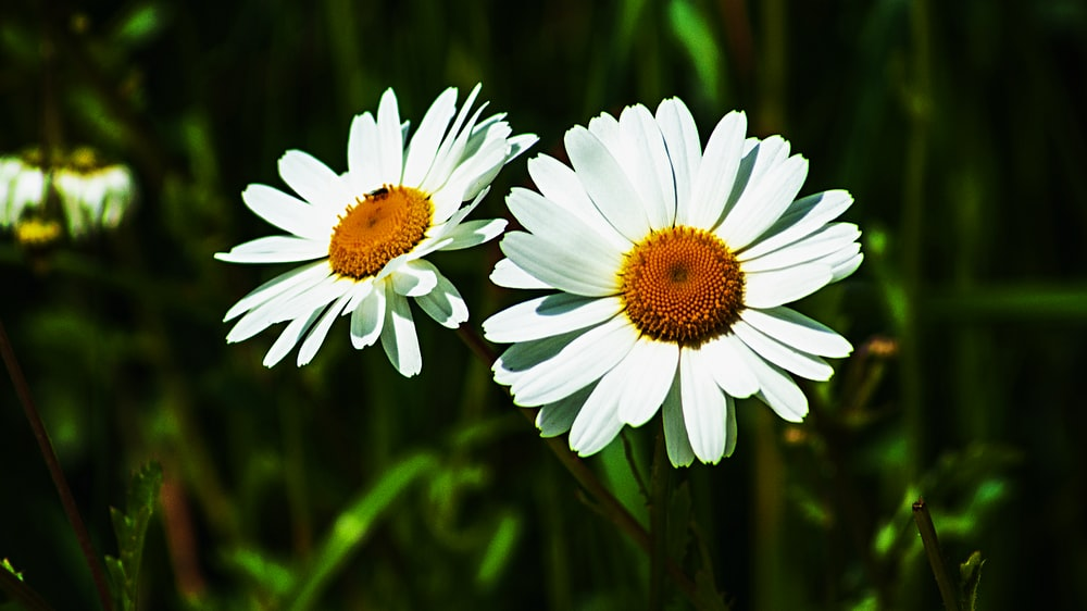 two white daisies close-up photo