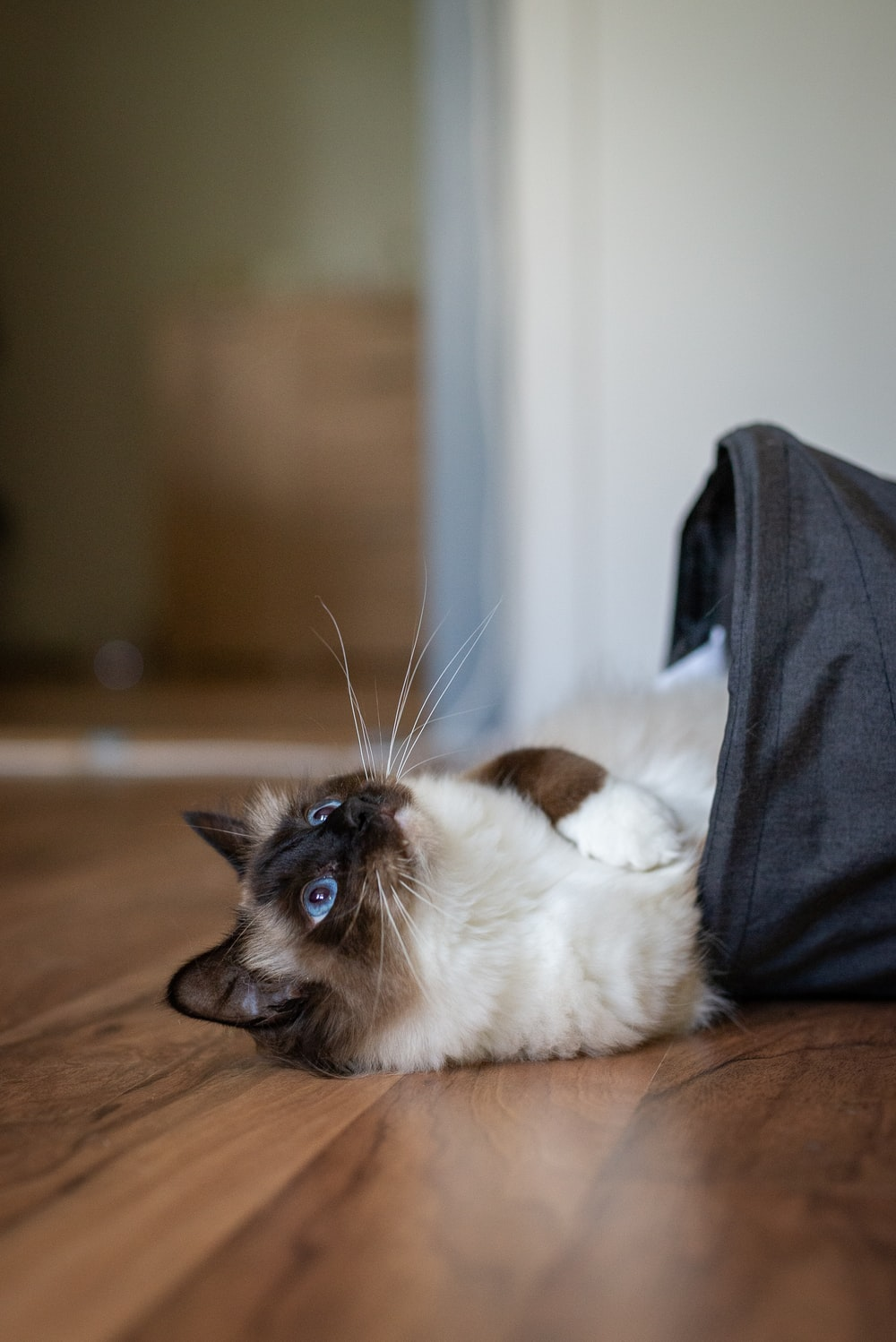 himalayan cat in pouch