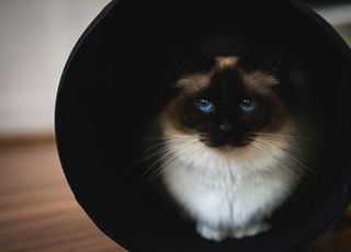 Himalayan cat in cup