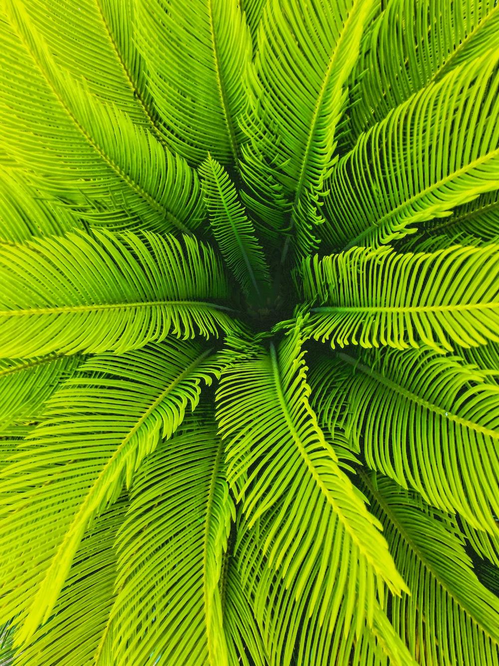 green sago palm plant