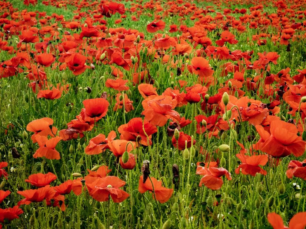 blooming red poppy flower field