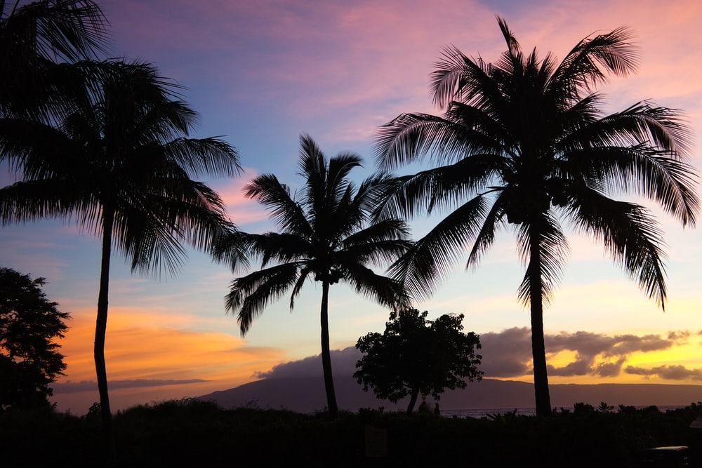 silhouette photo of coconut trees