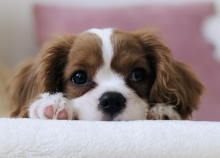 long-coated white and brown puppy