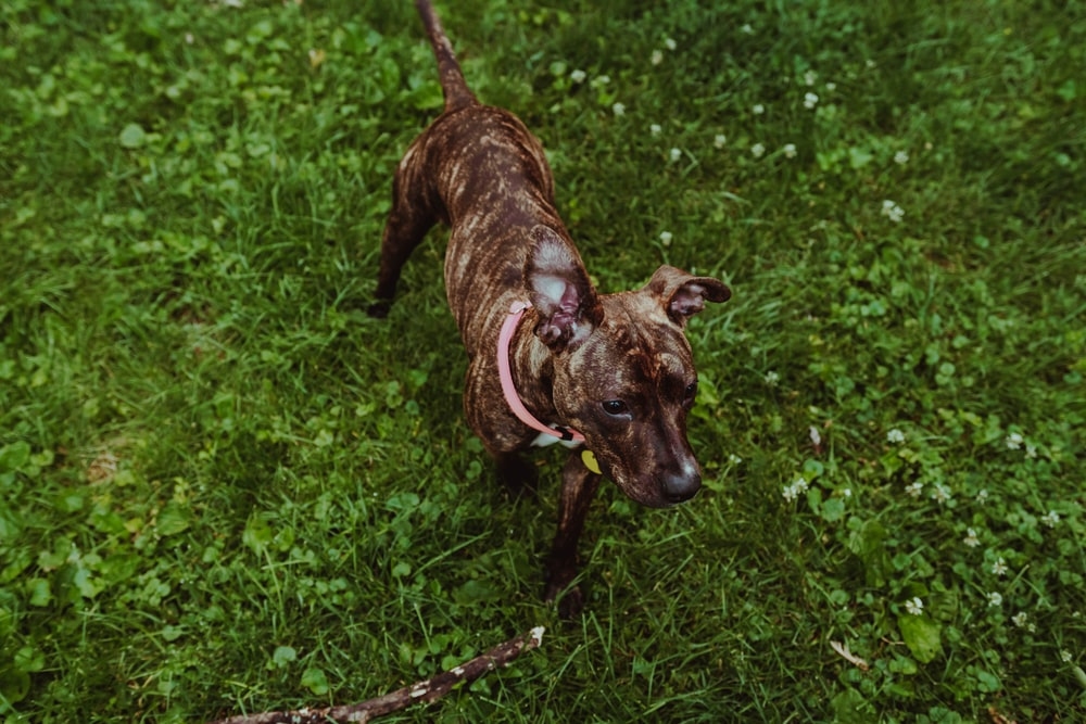 brown brindle short coat dog standing on green grasses