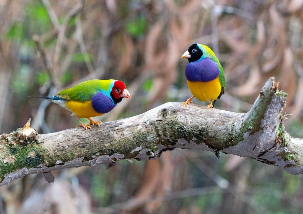 two loriini birds on brown wood branch