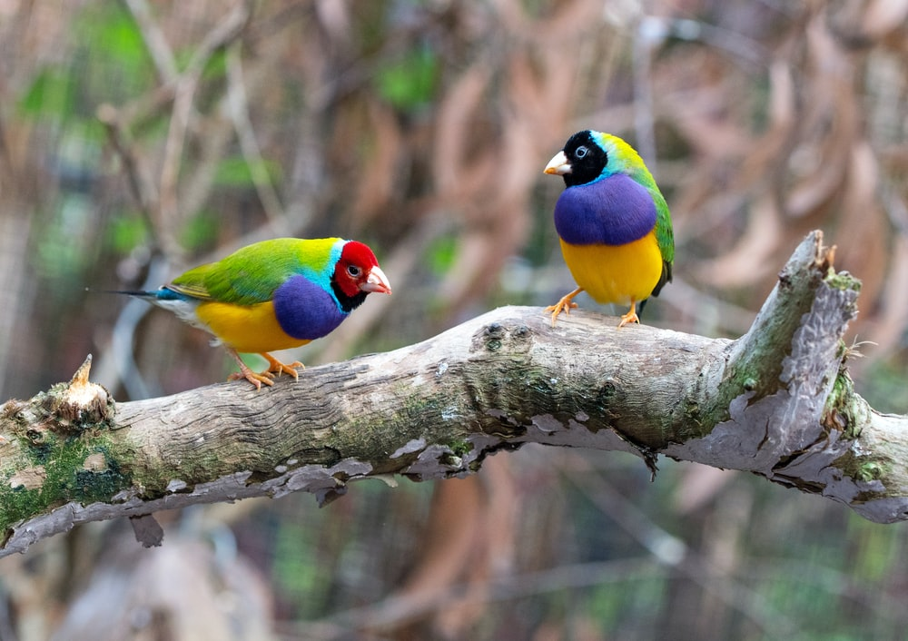 two loriini birds on brown wood branch