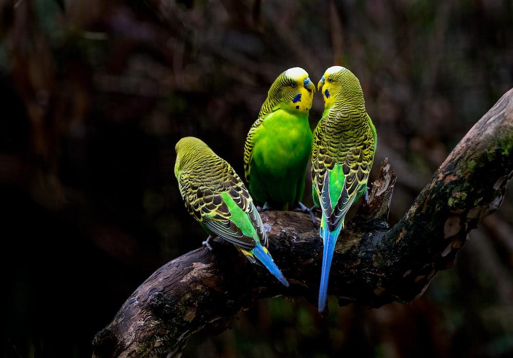 three green budgerigars perching on tree branch