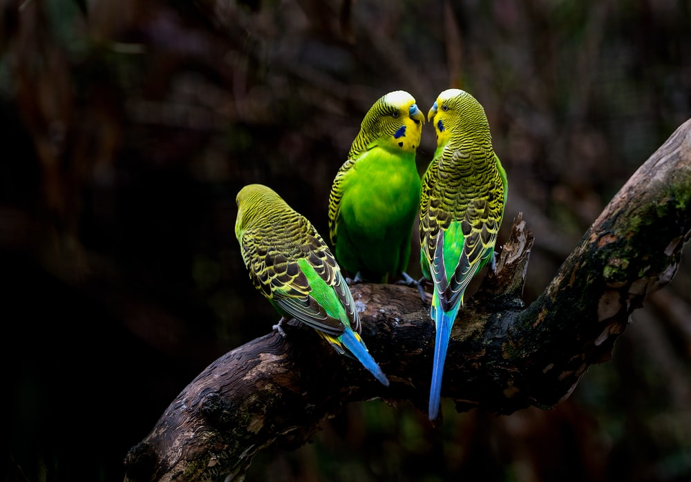 three green budgerigars perching on tree branch
